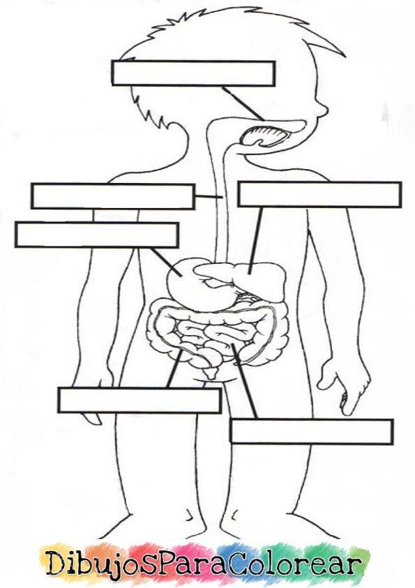 Aparato Digestivo O Sistema Digestivo Para Colorear